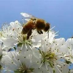 苦瓜汁加蜂蜜 蜂蜜还原糖测定 大蒜与蜂蜜相克 蜂蜜和生姜泡水 白醋蜂蜜减肥效果