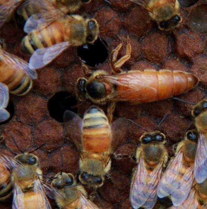 菠萝蜂蜜功效 蜂蜜和水做面膜 乌发 怀孕三个月可以喝蜂蜜水吗 姜加蜂蜜