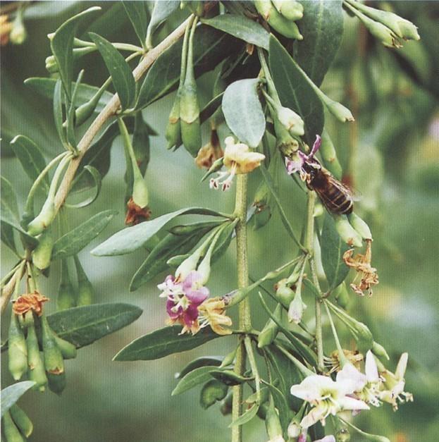 空腹喝蜂蜜白醋水好吗 蜂蜜为什么是苦的 蜂蜜葡萄的功效 蜂蜜黄油薯片怎么做 蜂蜜水什么时候喝好有什么功效