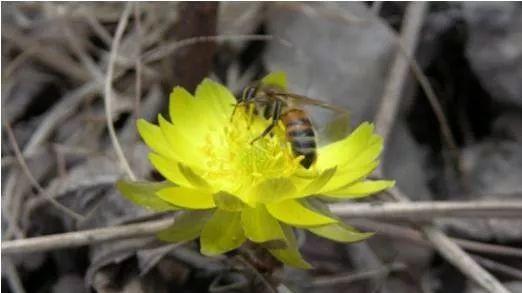 饲养管理|早春蜂群快速复壮的措施
