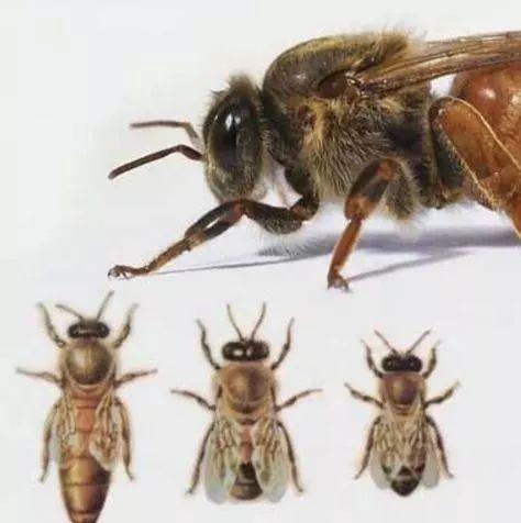 蜂王死了怎么办?