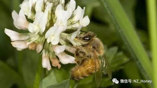 绿柠檬可以泡蜂蜜水吗 蜂蜜展览会 胃酸可以喝蜂蜜水吗 蜂蜜对人体如何 茶叶和蜂蜜能一起喝