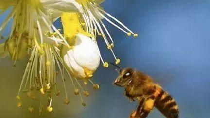 蜂蜜解酒的原理 蜂蜜果茶 茄子蜂蜜 蜂蜜水和中药 蜂蜜抹茶蛋糕