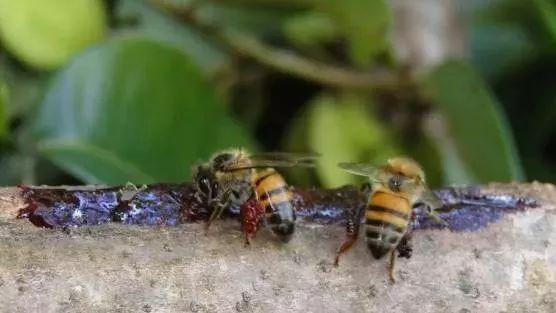 蜂蜜怎么擦脸 广州真蜂蜜 蜂蜜发臭 阿莫西林和蜂蜜 蜂蜜玫瑰