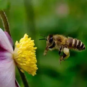 吃补的可以喝蜂蜜吗 玫瑰蜂蜜丰胸 哺乳期能喝蜂蜜吗 沃尔玛有真蜂蜜吗 蜂蜜加中药