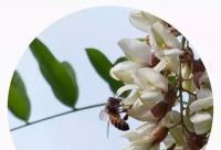 槐花蜜是用槐花和蜂蜜加工而成的吗?