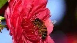 麦卢卡蜂蜜(Manuka 蜂蜜水能缩短产程吗 蜂蜜生姜水能减肥 蜂蜜生姜水晚上能喝吗 喝蜂蜜水过敏