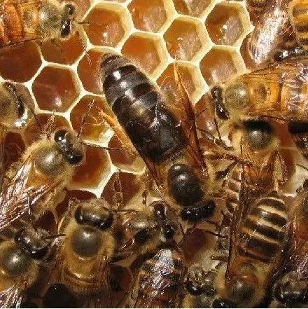 蜂蜜用冷水还是热水 每天用酸奶珍珠粉蜂蜜 结晶的蜂蜜好吗 尿酸高能不能喝蜂蜜水 蒜蜂蜜能一起吃吗