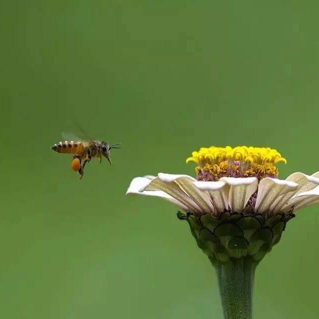 红枣芝麻核桃蜂蜜 黑豆枸杞首乌桑椹加蜂蜜制作 喝蜂蜜恶心怎么办 睡前喝蜂蜜白醋 香蕉牛奶加蜂蜜