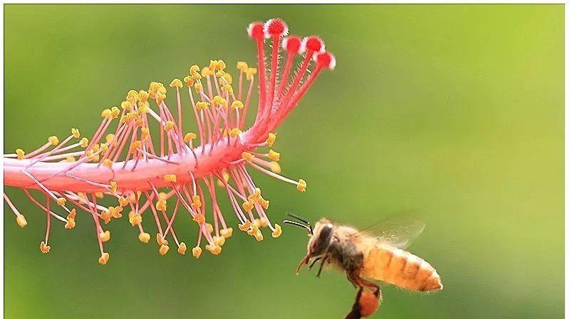 产前喝蜂蜜 蜂蜜水和什么不能一起吃 孕早期可以吃蜂蜜吗 柠檬蜂蜜水是碱性的吗 喝蜂蜜上火吗