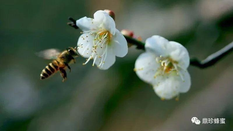 地瓜蜂蜜能一起吃吗 黑色蜂蜜是什么蜜 柠檬蜂蜜水的禁忌 麦卢卡蜂蜜价格 分辨真假蜂蜜