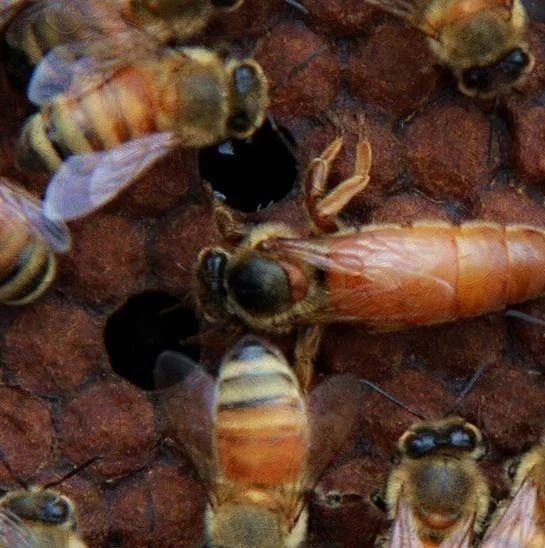 蜂蜜冰淇淋 蜂蜜冰箱结晶 蜂蜜能灌肠吗 德力兴蜂蜜饮品 东北散装蜂蜜