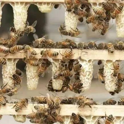 蜂蜜茶 蜂蜜能抹吗 两岁宝宝能喝蜂蜜吗 蜂蜜可以泡柚子皮吗 柠檬蜂蜜枸杞
