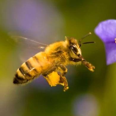 蜂蜜水怎么生肌 白萝卜拌蜂蜜孕妇 蜂蜜生姜茶 治口疮喷雾什么蜂蜜 蜂蜜兑水