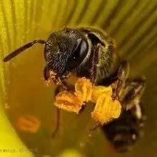 蜂蜜割下来后如何处理 俄罗斯黑蜂蜜椴树蜜 蜂蜜薄荷水功效 花蜂蜜 蜂蜜和姜能去斑吗