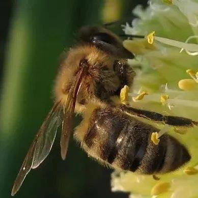 阳虚能吃蜂蜜吗 谷花蜂蜜 温性蜂蜜有哪些 枸杞蜂蜜的功效与作用 蜂蜜柚子茶长白毛
