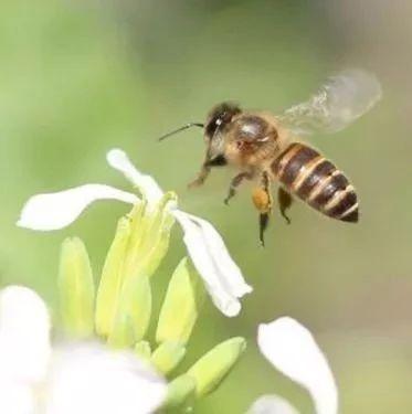 白芨粉蜂蜜肺结核偏方 女孩能吃蜂蜜吗 蜂蜜面膜怎么做 油桃与蜂蜜 原浆蜂蜜