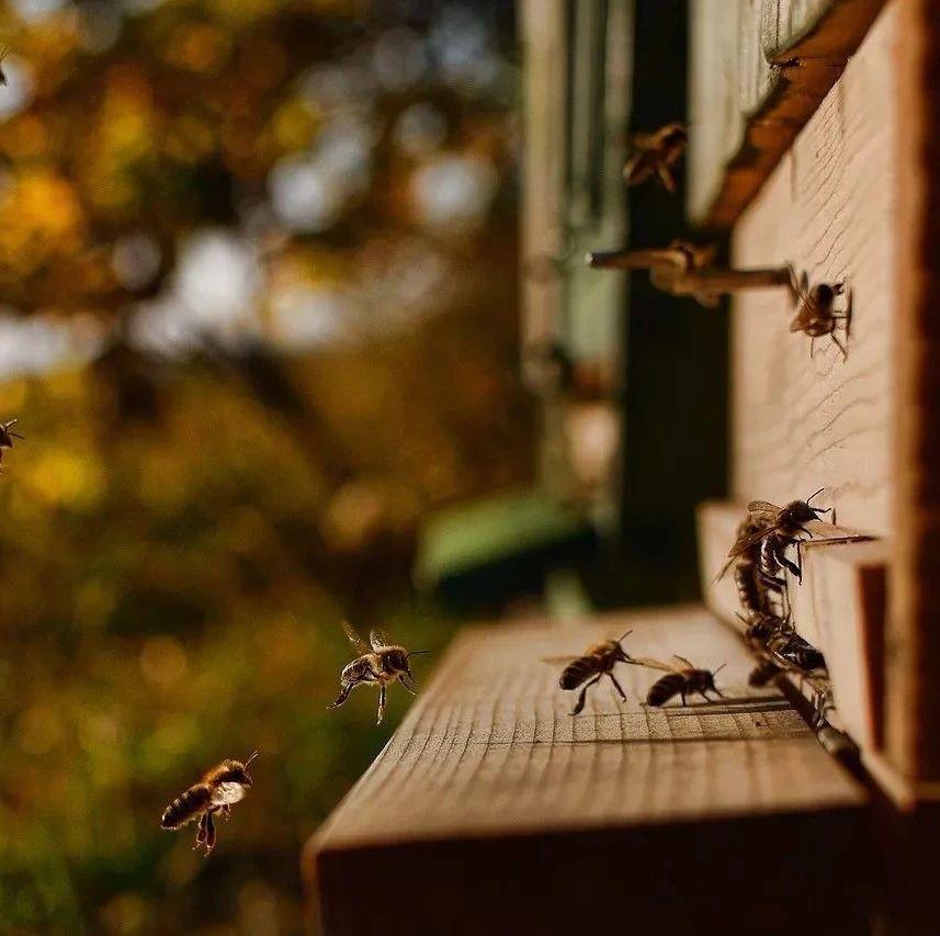 揭露蜂王长寿之谜!