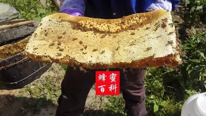 香蕉沾蜂蜜能减肥吗 蜂巢蜂蜜包装 蜂蜜销售数据 灵芝与蜂蜜 陈年蜂蜜用了有坏处吗