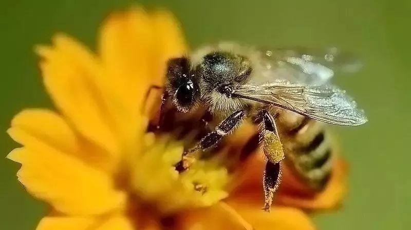 蜂胶对乙肝病毒的防治