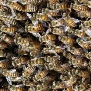 浅谈蜜蜂甘露蜜中毒