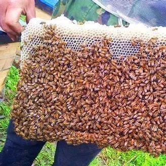 菊花蜂蜜茶能喝吗 蜂蜜对牙齿有伤害吗 比较的蜂蜜 野生蜂蜜维基 喝蜂蜜水瘦脸