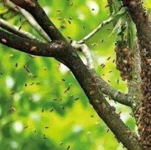 高处分蜂团收捕