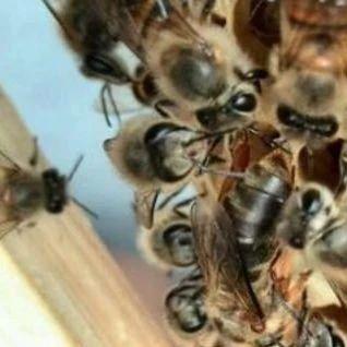 央视曝光蜂蜜 thitinan蜂蜜 蛋清面粉蜂蜜面膜 阿胶蜂蜜膏的做法 蜂蜜的不同功效