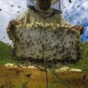 熬梨水可以放蜂蜜吗 出水痘可以喝蜂蜜吗 经常喝蜂蜜水好吗 杭白菊蜂蜜泡水 中国蜂蜜冒充日本货