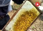 藏红花和蜂蜜 蜂蜜红酒面膜功效 吃蜂蜜的好处 1岁喝蜂蜜吗 蜂蜜水可以下火
