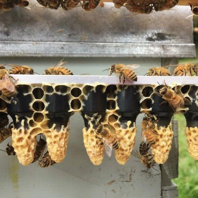 蜜蜂是昆虫吗 蜂蜜怎样喝能减肥 蜂蜜的功能 蜜蜂如何过冬 洋槐蜂蜜的价格