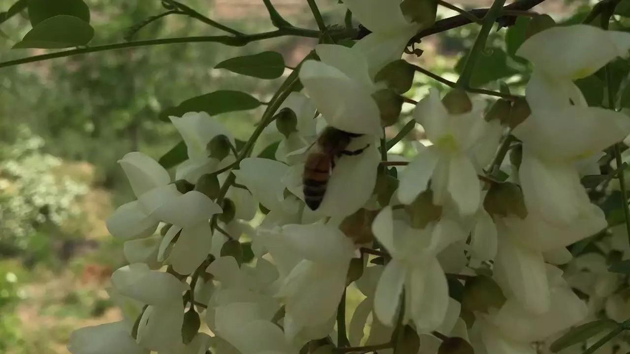 柠檬蜂蜜水的功效 芦荟蜂蜜 蜜蜂蛰了过敏怎么办 东北黑蜂蜜 中蜂蜂蜜价格