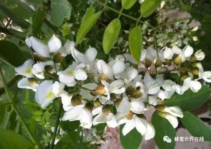 如何养好蜜蜂 生姜蜂蜜减肥 蜜蜂的精神 什么蜂蜜 洋槐蜂蜜的价格