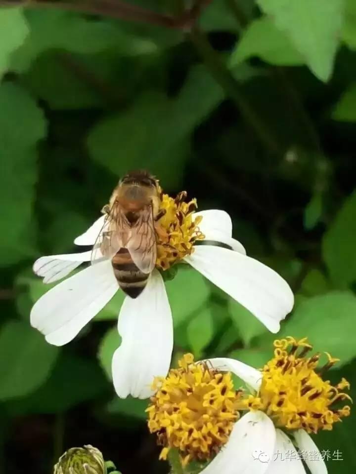 蜂蜜减肥方法 蜂蜜食用 蜜蜂繁殖 蜜蜂有什么特点 麦奴卡蜂蜜