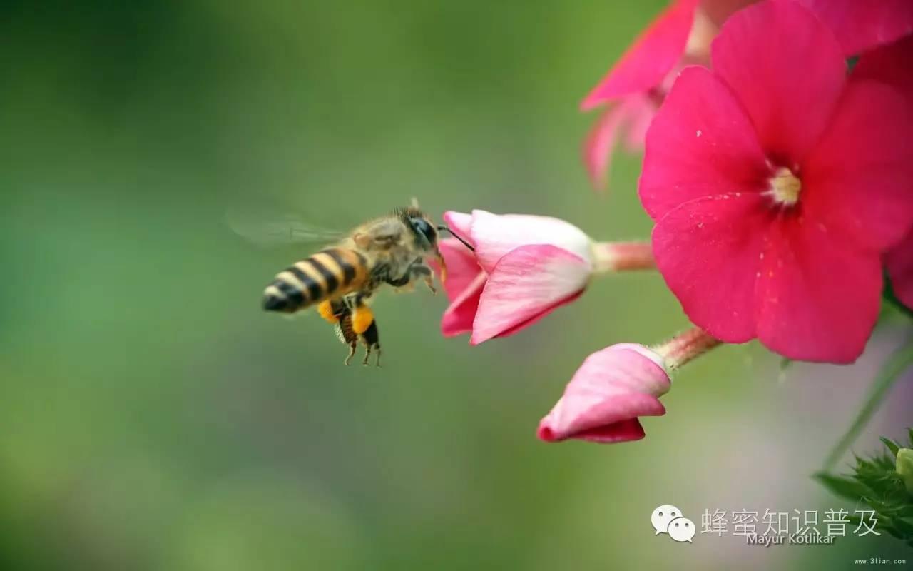 蜜蜂病 如何选蜂蜜 引诱蜜蜂 每天喝多少蜂蜜 蜂蜜水怎么冲