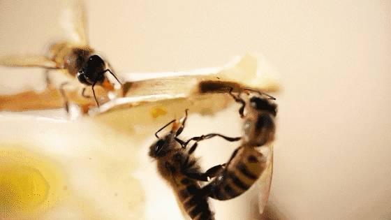 纯蜂蜜 蜜蜂的饲养方法 姜和蜂蜜的作用 蜜蜂翅膀 蜜蜂的养殖和管理