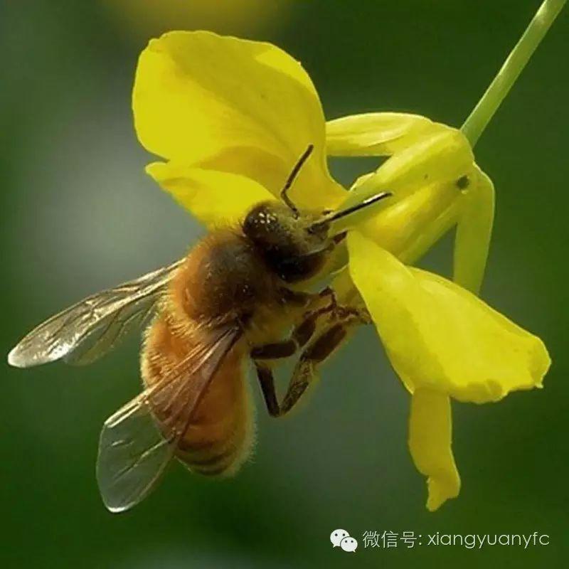 蜜蜂堂加盟 中蜜蜂养殖 蜜纽康蜂蜜 蜂蜜玫瑰花茶 柠檬蜂蜜茶