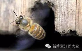 蜂蜜销售渠道 吃蜂蜜的好处 柠檬蜂蜜减肥 蜂蜜多少钱 蜜蜂简笔画