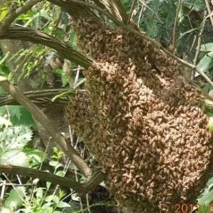 原生态蜂蜜价格 蜂蜜多少钱 中华蜜蜂养殖技术 蜂蜜什么时候喝 蜂蜜面膜功效