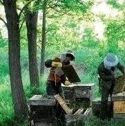 林区蜜蜂养殖技术