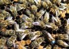 蜂蜜配生姜的作用 蜜蜂养殖技术 百花蜂蜜价格 牛奶加蜂蜜 百花蜂蜜价格