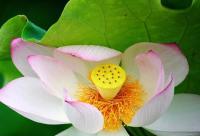 名贵荷花粉,轻松吃出你的美!