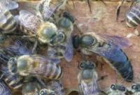 工蜂产卵群高效介王法 !