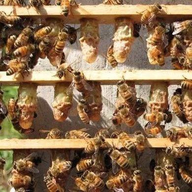 跟踪蜜蜂一研究昆虫习性的新方式