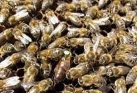 鹅半蜂蜜膏治疗百日咳效方