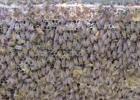 土蜂蜜的价格 牛奶蜂蜜可以一起喝吗 蜜蜂图片 蜂蜜瓶 manuka蜂蜜