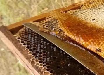 哪些情况下蜂王会带领蜂群逃跑