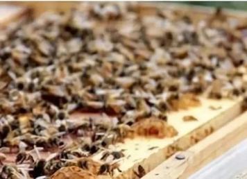中蜂冬季饲喂技术