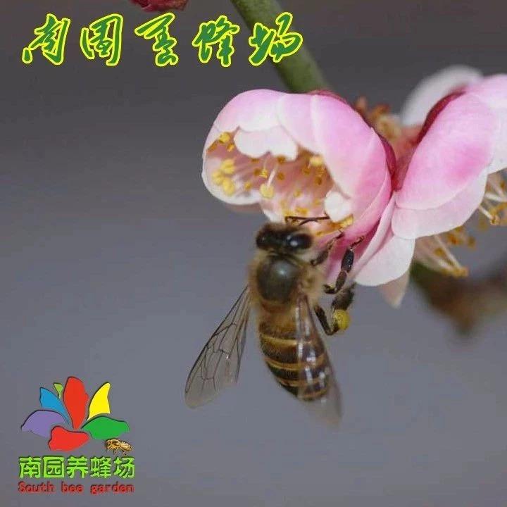 摇取采集蜂蜜,四季摇取采集蜂蜜的诀窍