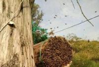想养野蜂要怎样才能找到呢